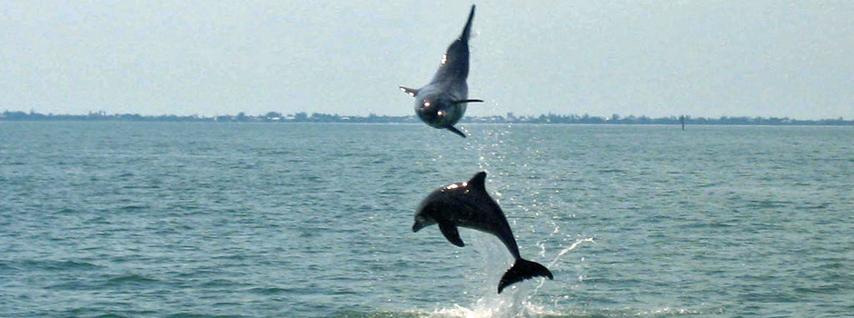 Dolphins-Charlotte-Harbor